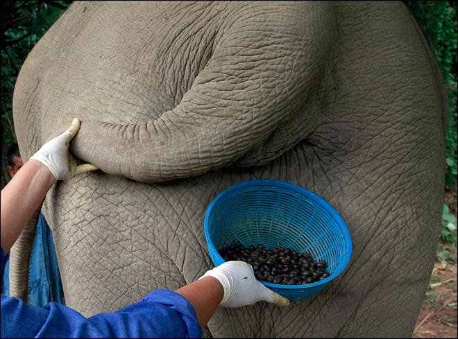 voi được cho ăn quả cà phê Arabica của Thái, sau đó người ta sẽ đi gom cà phê từ phân voi sau một thời gian chúng được
