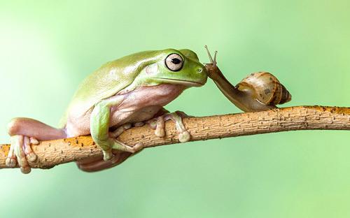 Thiên nhiên diệu kỳ: Ốc sên hôn ếch xanh