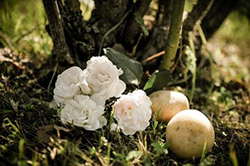 Trồng hoa hồng từ... củ khoai tây