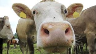 Mỹ phát triển công nghệ biến phân bò thành... nước uống