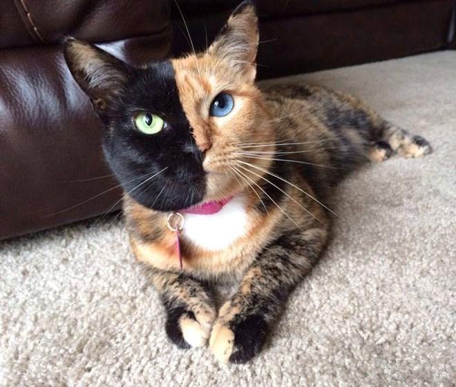"""Dung nhan cô mèo hai mặt """"gây bão"""" trên Internet"""