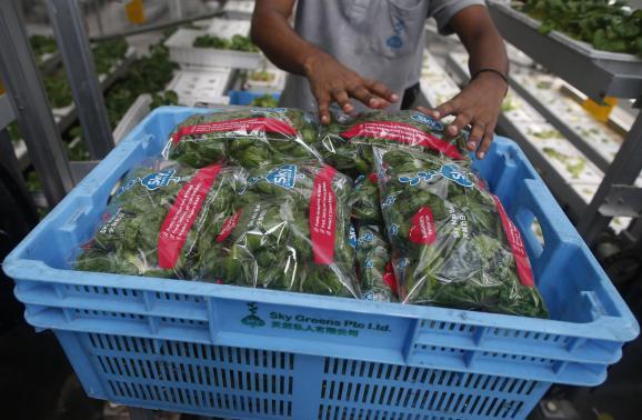 """Công nhân thu hoạch rau tại """"trang trại dọc"""" Sky Greens"""