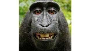 Tranh chấp bản quyền ảnh tự sướng của... khỉ