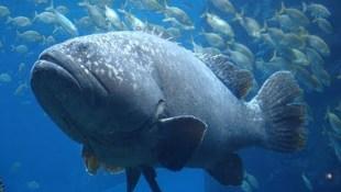 Cá khổng lồ lao lên đớp trọn cá mập