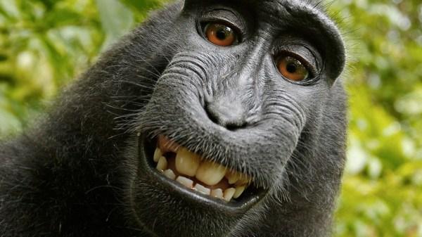 Mỹ: Không thể đăng ký tác quyền ảnh chụp bởi khỉ