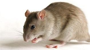 Phát hiện 18 chủng virus có nguồn gốc từ chuột