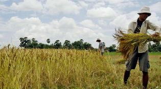 Sợ gạo ô nhiễm, dân Trung Quốc tìm đến gạo Nhật