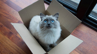 Vì sao mèo thường trốn vào trong hộp?