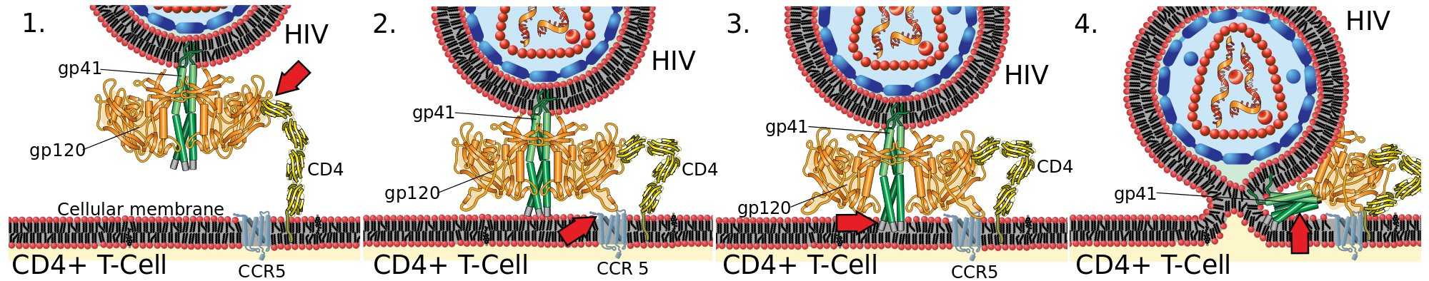 HIV glycoproteins penetrate white cell membrane