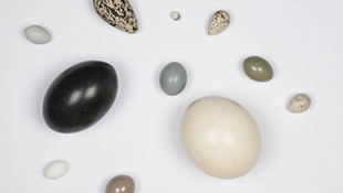 5 điều thú vị về quả trứng