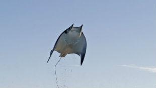 Choáng với hình ảnh cá đuối bay lượn trên không