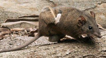 Loài chuột Úc sống chết cả đời chỉ vì... sex