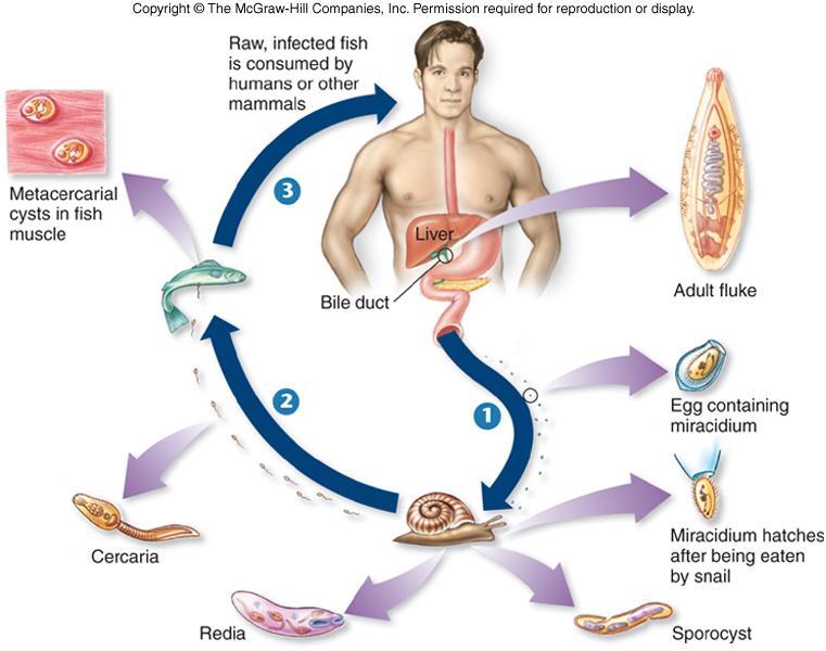 Liver fluke life cycle
