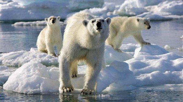 Gấu Bắc Cực và chìa khoá chống béo phì