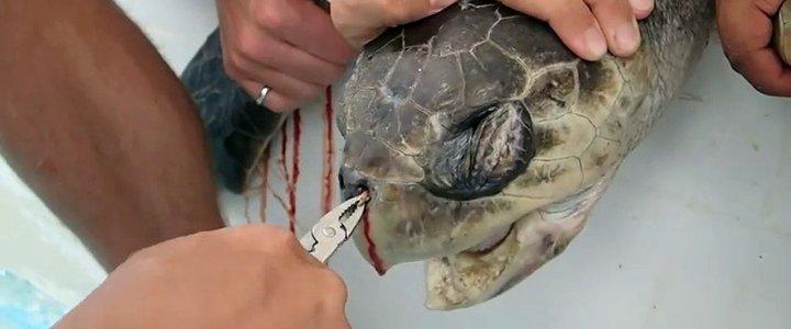 Bật khóc vì chú rùa bị ống hút nhựa cắm ngập trong mũi