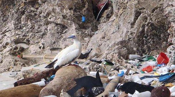 90% các loài chim biển ăn phải rác thải nhựa