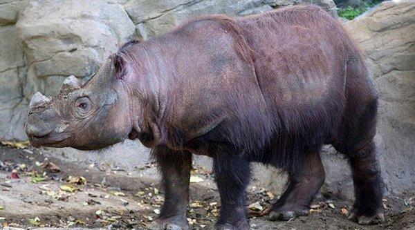 Tê giác vượt ngàn dặm để duy trì nòi giống