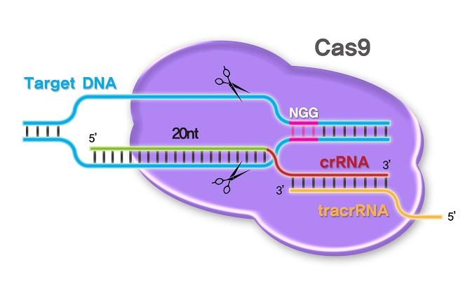 Kết quả hình ảnh cho chỉnh sửa gen CRISPR/Cas9