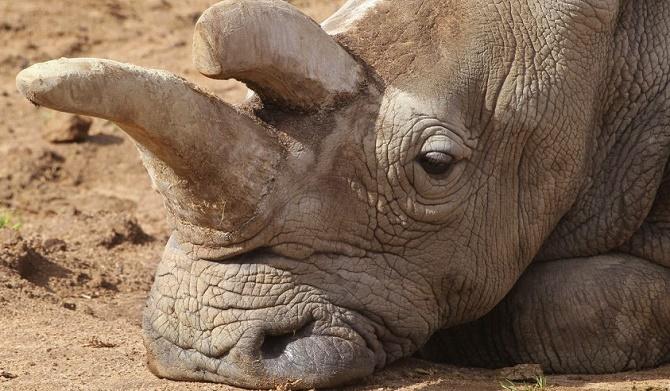 Loài tê giác trắng gần như chắc chắn sẽ tuyệt chủng.