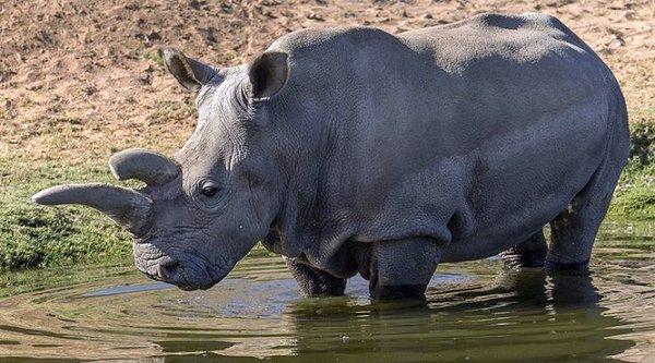 Thế giới chỉ còn lại 3 con tê giác trắng phương bắc