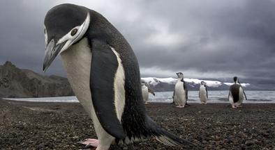 Chú chim cánh cụt vượt 20.000 dặm tìm gặp ân nhân
