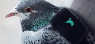 Dùng chim bồ câu để giám sát ô nhiễm không khí
