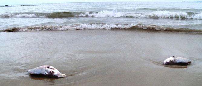 Tại sao cá chết hàng loạt dọc bờ biển 4 tỉnh miền Trung?