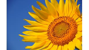 Nhà thông minh hoạt động giống như hoa hướng dương