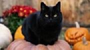 Vì sao nói mèo đen mang đến xui xẻo?