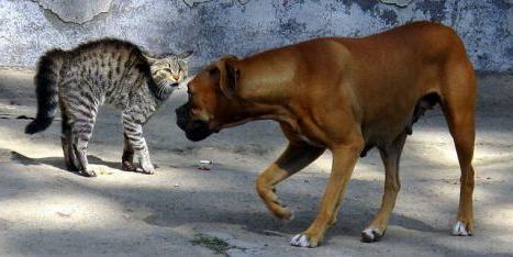 Tại sao chó ghét mèo?
