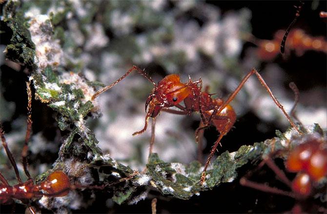 """Loài kiến đã biết """"trồng trọt"""" từ... 60 triệu năm trước"""