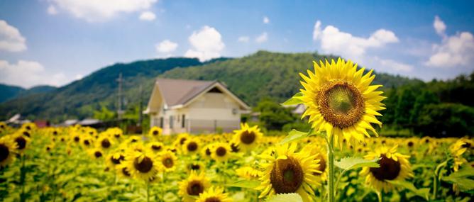 Khoa học: Đã tìm ra lý do hoa hướng dương hướng về phía mặt trời