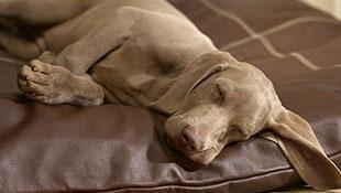 Chó thường mơ về chủ khi đi ngủ