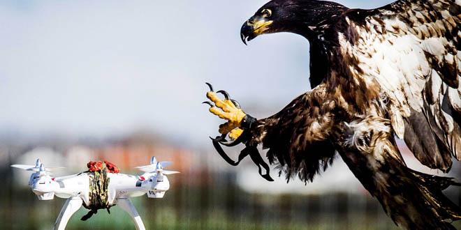 Đại bàng và drone: Cuộc chiến tốn kém không hồi kết