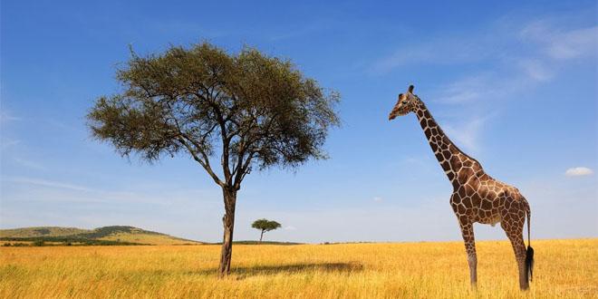 Hươu cao cổ đứng trước nguy cơ tuyệt chủng