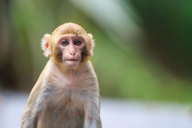 Tại sao khỉ có thể bắt chước tiếng người nhưng không nói được như người?