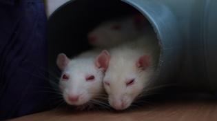 Con người giống chuột đến mức nào?