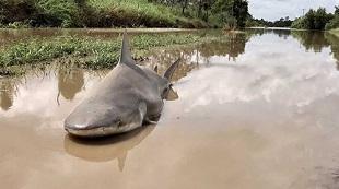 Siêu bão nhiệt đới cuốn cá mập vào 13 km trong đất liền