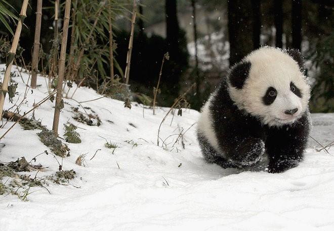 Tại sao gấu trúc lại có hai màu đen – trắng