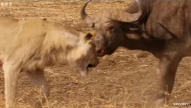 Ba con sư tử tấn công một con trâu và kết quả bất ngờ