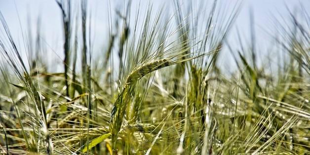 Biến đổi khí hậu làm giảm chất lượng lúa gạo trên toàn cầu