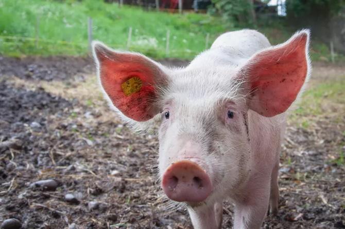 Các nhà khoa học Trung Quốc: 2 năm nữa có thể cấy ghép tạng lợn cho người