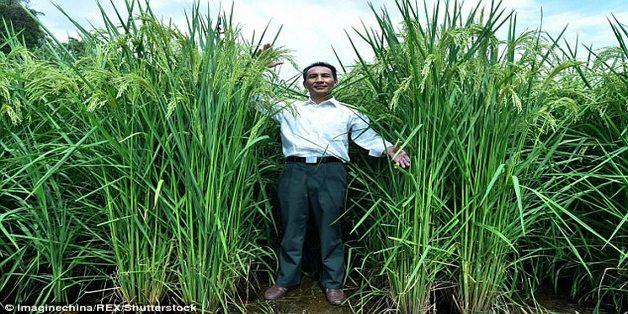 Trung Quốc tạo ra giống lúa đột biến gen, cao hơn 2 mét