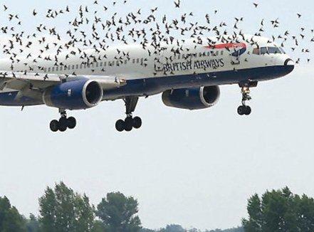 Có thật là máy bay sợ... chim hay không?