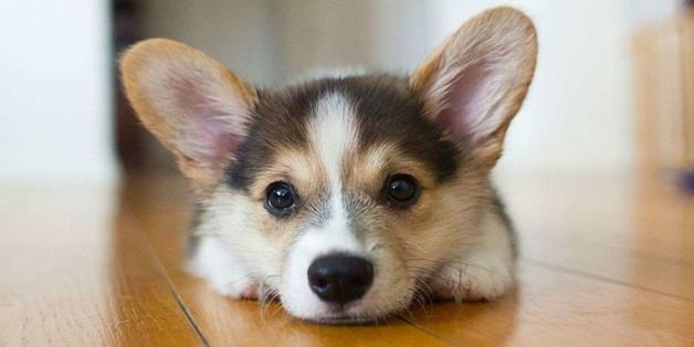 Tại sao chân chó lại thường có mùi như... bỏng ngô?