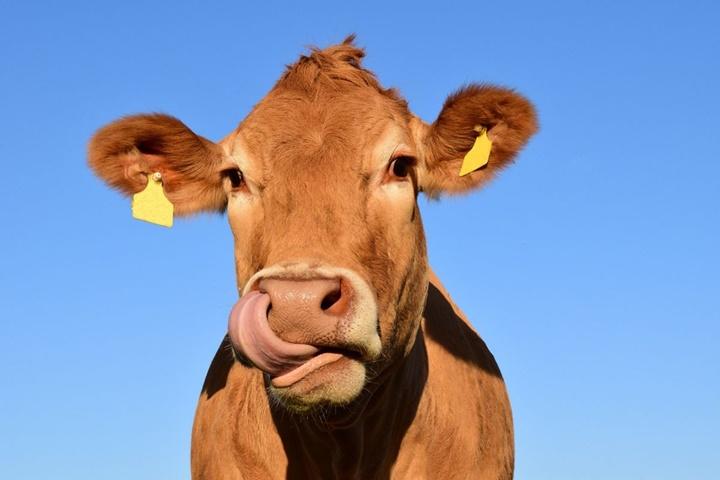 """""""Hack"""" khuẩn đường ruột của loài bò có thể mang lại nhiều thịt hơn và giảm ô nhiễm"""