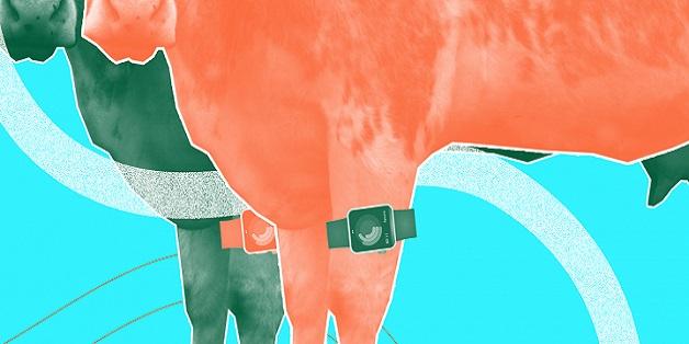 """""""Fitbit cho bò"""" không khiến bò hạnh phúc hơn, vì chúng không phải là những cỗ máy cho sữa"""