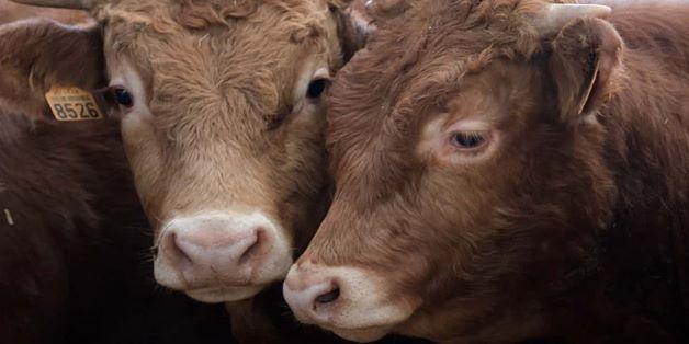Bò sẽ sớm trở thành động vật có vú trên cạn lớn nhất thế giới vì hoạt động của con người