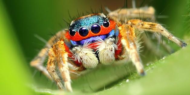 Nghiên cứu loài nhện nhảy để tạo ra những mẫu robot nhảy cao và xa hơn