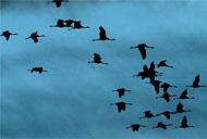 Sóng di động 5G có thể khiến loài chim và nhiều sinh vật sống mất phương hướng